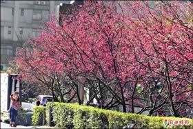 花開了 陽明山花季初三登場